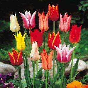 tulipán számtalan színben